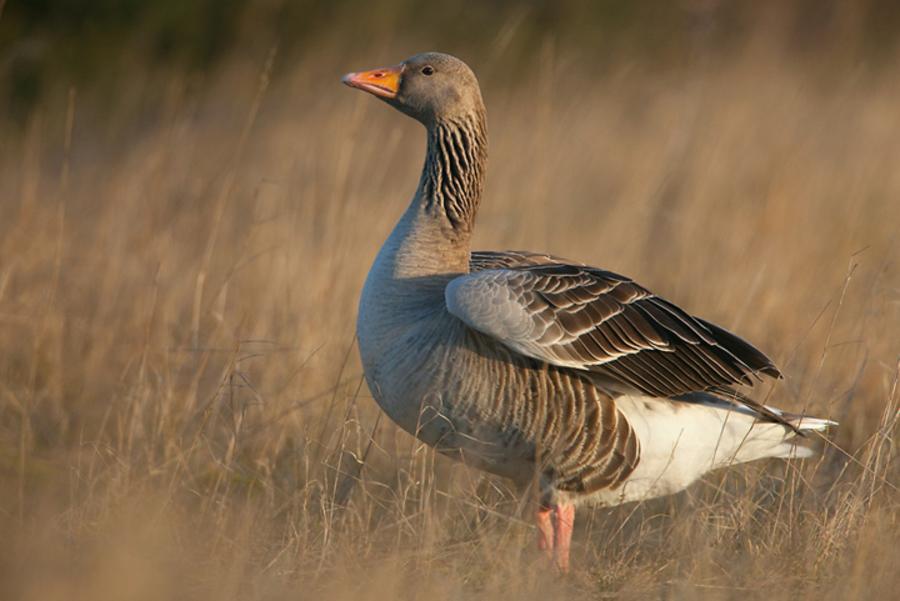 Скачать звуки перелетного гуся