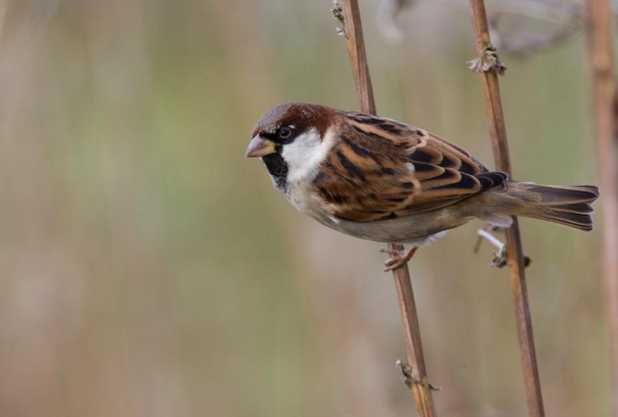 Звуки птицы воробей скачать